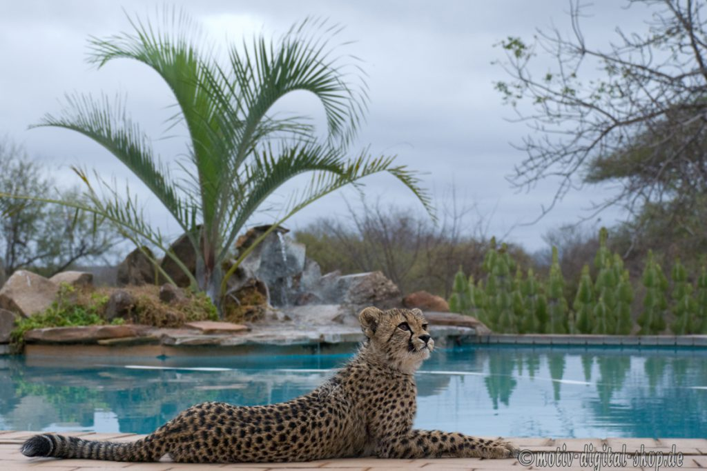 Gepard am Swimmingpool