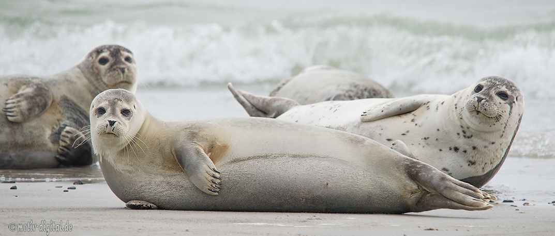 Seelöwen auf Helgoland