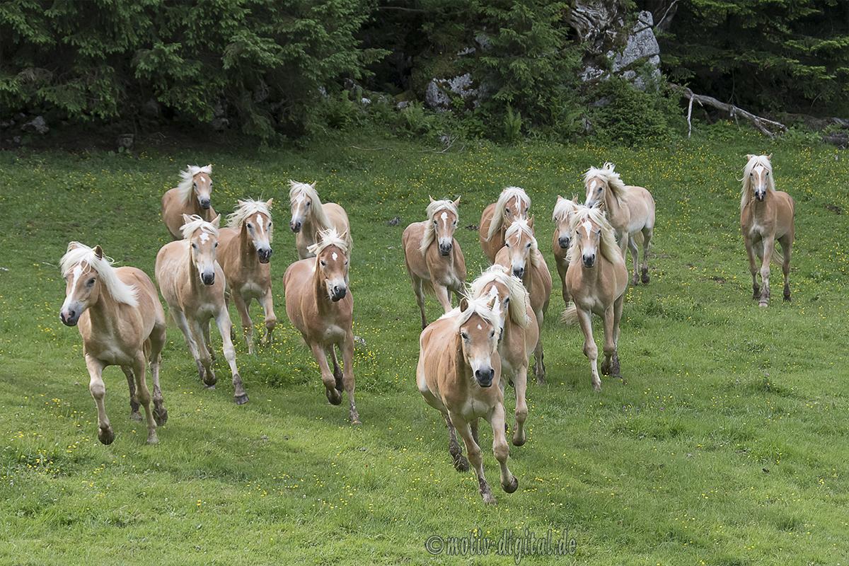 haflinger-junghengste