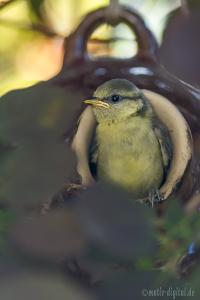 Blaumeisen-Jungvögel