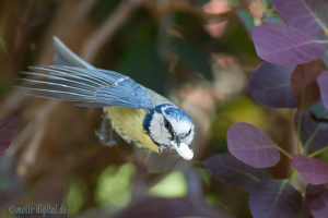 Blaumeise im Flug